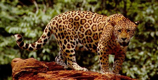 Se trabaja en la identificación de un corredor biológico para el jaguar, que abarque desde la reserva Zicuirán-Infiernillo, hasta el norte de Nayarit
