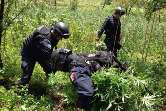 Las acciones también se realizaron en el vecino estado de Guerrero; en total se destruyeron cuatro terrenos sembrados con mariguana y amapola en una superficie de mil 175 metros cuadrados