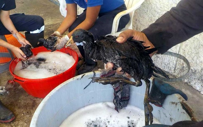 Fotos Del Cangri Muerto: Derrame De Petróleo Daña Fauna En Michoacán