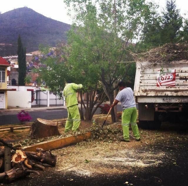 El director de Medio Ambiente y Sustentabilidad, Marco Tulio Campos, indicó que es a través de un dictamen que el Ayuntamiento puede derribar algunos árboles que estén enfermos o que ya hayan cumplido su periodo de vida