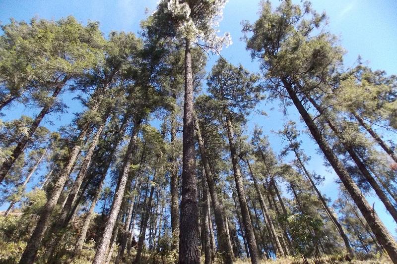 Cabe señalar que Michoacán, con 12 mil 189 hectáreas, ocupa el séptimo lugar nacional de superficies de plantaciones forestales comerciales maderables establecidas