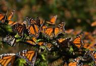 Permitirá acceder a datos reales para planear acciones de protección y conservación de este emblemático insecto de importancia económica y biológica