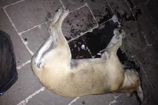 Es increíble, dicen los denunciantes, que las mismas autoridades municipales estén avalando el sacrificio de perros, violentando la ley, ellas que son las primeras obligadas a respetarlas