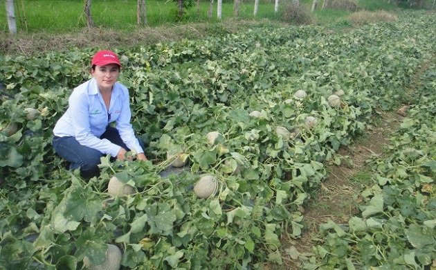 Ante el creciente cultivo del melón en la entidad, se espera que en unos años se pueda superar las 4 mil 224 hectáreas con las que cuenta el estado de Coahuila