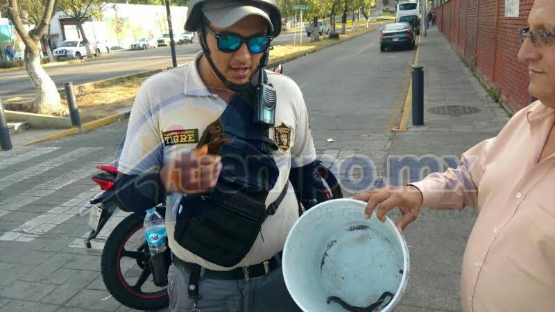 La víbora fue capturada e introducida en una cubeta de plástico, para posteriormente ser enviada al Parque Zoológico de Morelia, que se encuentra a pocos pasos de la secundaria (FOTO: FRANCISCO ALBERTO SOTOMAYOR)
