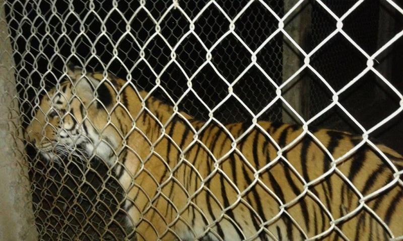 Fuerzas federales y estatales localizaron dentro de una jaula de metal un felino, por lo que resguardaron el área en espera de la autoridad competente