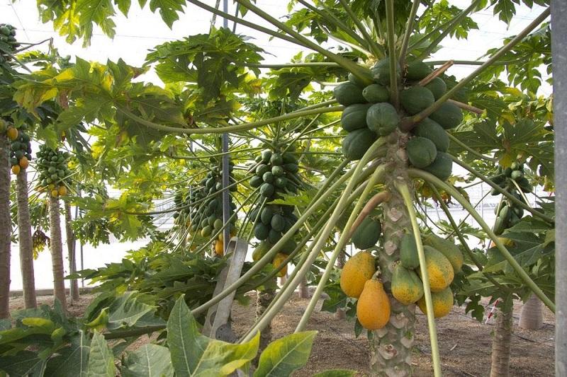 Huergo Maurin señaló que Michoacán ocupa el primer lugar en calidad y segundo lugar nacional como productor de papaya
