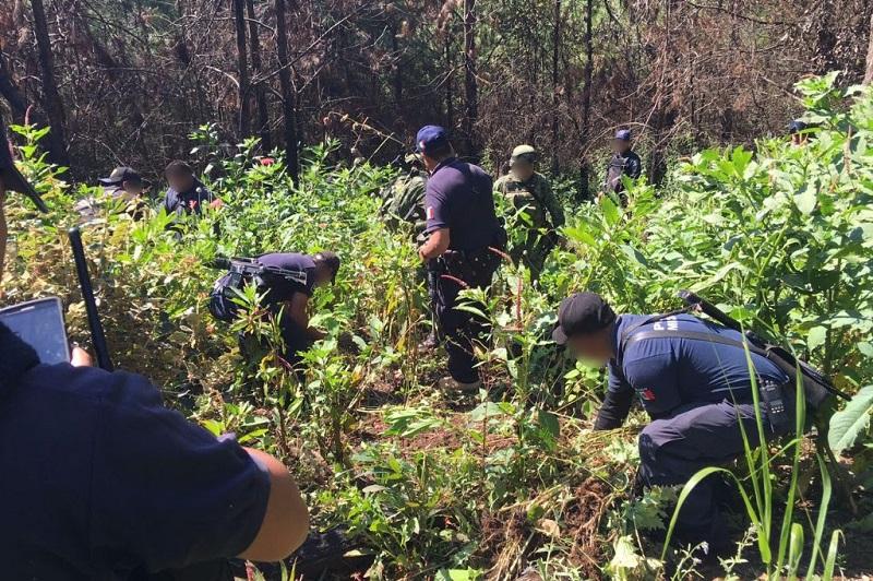 Al inspeccionar el terreno de una extensión de 5X10 metros, las autoridades aseguraron 750 plantas con una altura promedio de 90 centímetros cada una, por lo que fueron aseguradas e incineradas