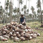 El responsable de la política agropecuaria de la entidad destacó que en el consumo moderado de la copra de coco, ayuda con los minerales esenciales para el cuerpo como el magnesio, calcio, fósforo, yodo, hierro, selenio, sodio, zinc, entre otros