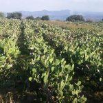 Cecilio Zamora Ramos puntualizó que en Morelia se cultivan 24 mil 700 hectáreas, con una producción anual cercana a las 120 mil toneladas de alimentos