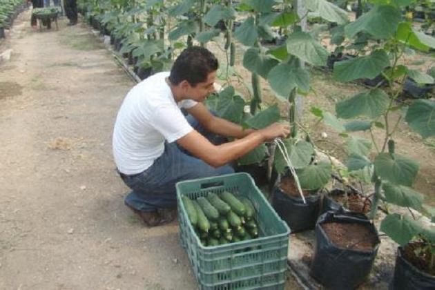 A nivel nacional las principales entidades productoras son: Sinaloa con una producción de más de 359 mil toneladas anuales, Sonora con 113 mil toneladas, y Michoacán, con una producción superior a las 80 mil toneladas