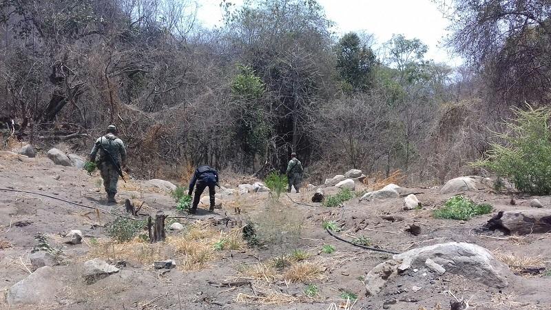 En el lugar, los agentes policiales y militares localizaron 30 plantas de marihuana, por lo que procedieron a destruirlas