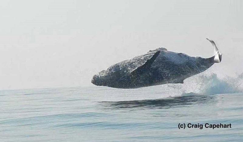 Las ballenas jorobadas pueden llegar a pesar hasta 50 toneladas, aunque en el caso del ejemplar de las imágenes, Craig estimó que ronda las 40 toneladas