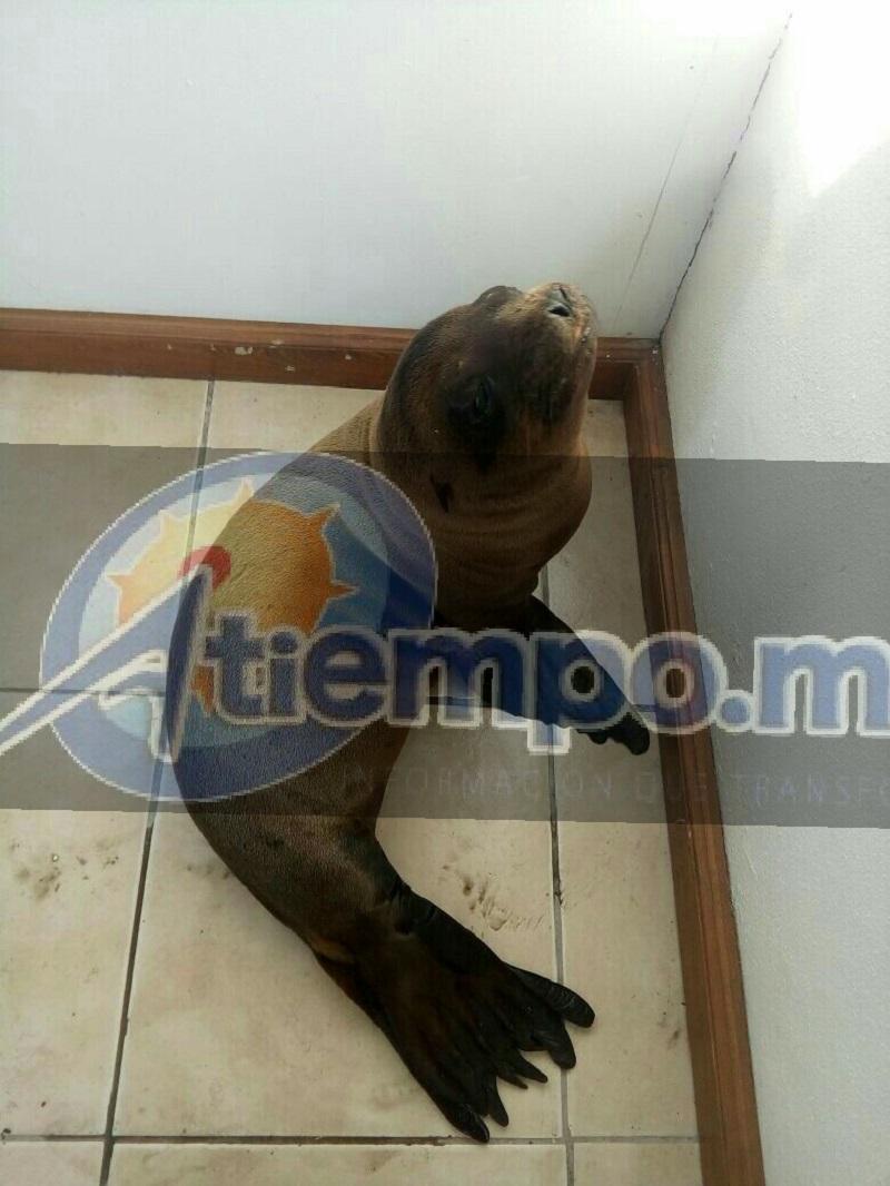 Bomberos de Protección Civil estatal lo capturaron y metieron a una jaula, para posteriormente trasladarlo al Zoológico de Morelia
