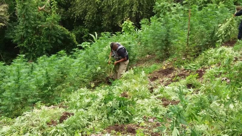 La incineración se llevó a cabo en el lugar de la localización de los sembradíos, contribuyendo con ello a que dicho enervante quede fuera del alcance de la ciudadanía
