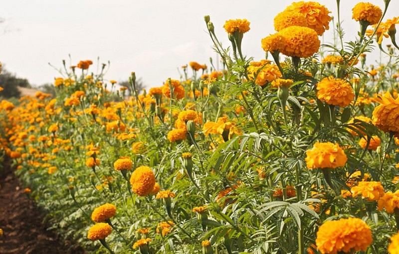 Rodríguez López destacó que los floricultores del país se encuentran listos para abastecer la fuerte demanda durante las celebraciones religiosas y fiestas populares que derivan de esta tradición