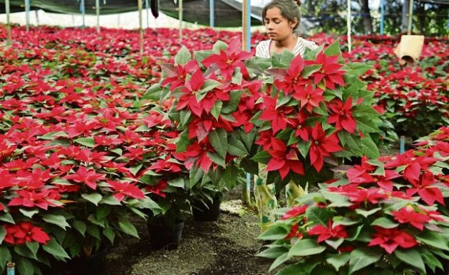 En la entidad se cultivan 100 hectáreas, las cuales generan 3 mil 500 empleos directos y más de 7 mil indirectos