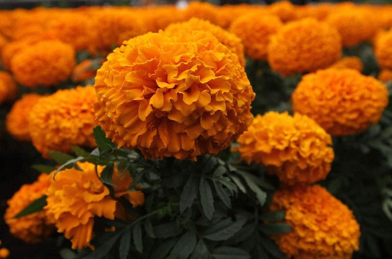 Con más de 220 mil manojos de flor de Nube, Michoacán se ubica en el segundo lugar en el país