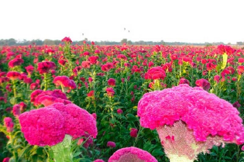 Medina Niño subrayó que Michoacán lidera la producción en Mano de León y Cempasúchil, aportando más de 535 mil 169 manojos de flores, que se espera comercializar con éxito la próxima semana