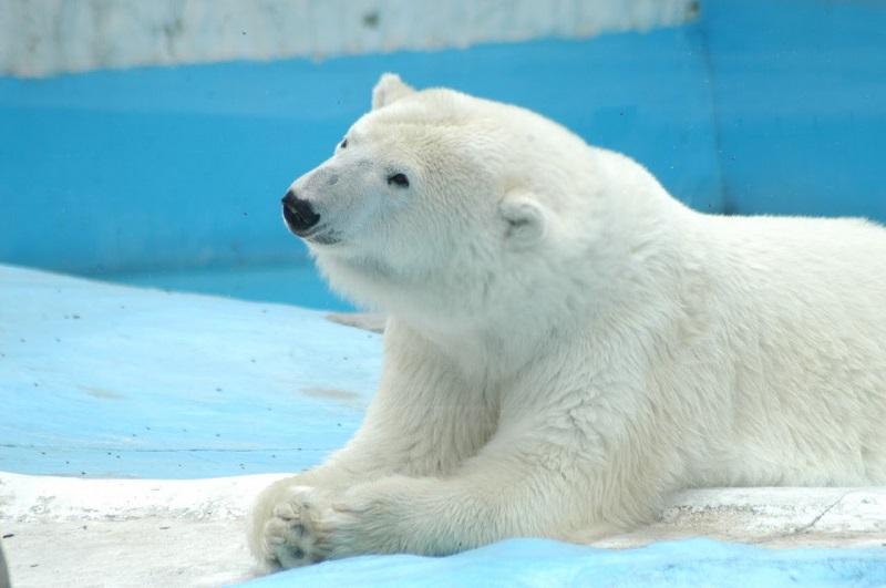 Recién nacida, Yupik fue rescatada en Alaska en 1992, luego de que una excavación en glaciares acabara con su madriguera. Ese mismo año fue traída a la ciudad de Morelia cuando tenía sólo tres meses de edad.
