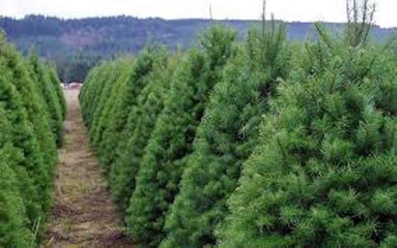 El director general de la Cofom, Alejandro Ochoa Figueroa resaltó que las plantaciones forestales comerciales de árboles de navidad, son una excelente alternativa para aumentar la productividad, restaurar el entorno ecológico, y lograr beneficios
