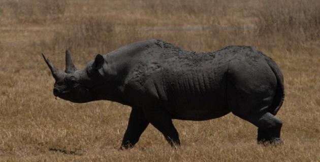 """""""La ciencia ha mostrado que la caza selectiva permite a la población de rinocerontes crecer"""", argumentó el club de caza"""