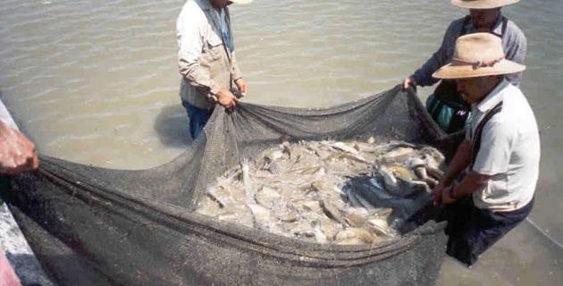 Las tendencias en el consumo de mojarra en México han venido experimentando una evolución muy favorable en los últimos años, no sólo en volumen demandado, sino en la percepción de la calidad del pescado