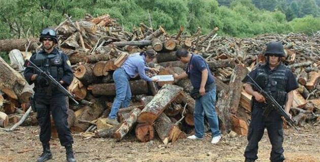 El producto forestal asegurado durante la inspección a ocho centros de almacenamiento y transformación de materias primas forestales, aserraderos, equivale a 2 mil 406 árboles derribados