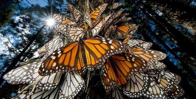 """""""México ha hecho del cuidado del santuario de la mariposa monarca una prioridad. Es indispensable que Estados Unidos y Canadá participen también, pero la realidad es que no hemos visto acciones concretas por parte de ellos"""": WWF"""