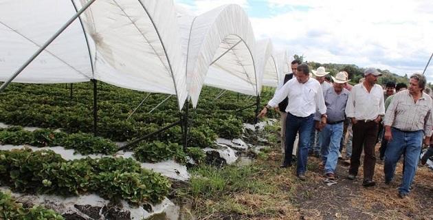 Los secretarios de Gobierno y Desarrollo Rural atestiguan el éxito de la sustitución del cultivo de maíz por el de fresa