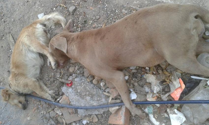 Denuncian envenenamiento de perros callejeros en Morelia