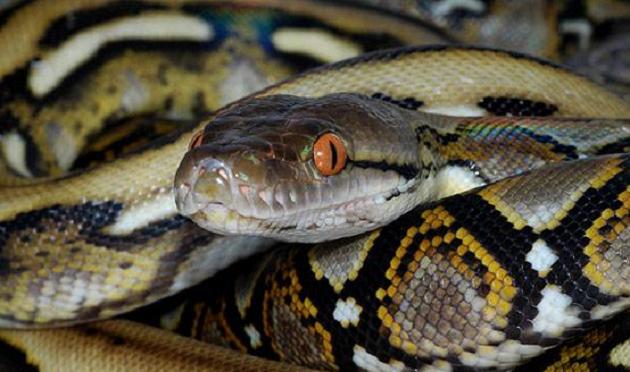La serpiente en cuestión era una pitón reticulada de alrededor de 150 centímetros de longitud, la cual no es venenosa, misma que fue rescatada del automóvil y puesta a disposición de personal capacitado en el manejo de fauna silvestre