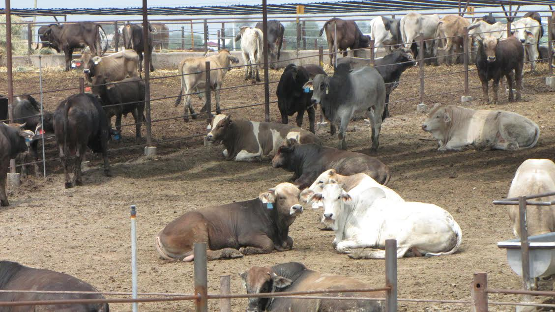 Hasta la fecha se tienen contabilizadas peticiones de más de 11 mil cabezas de ganado, de las cuales, más de 8 mil son bovinas, detalla Tentory García