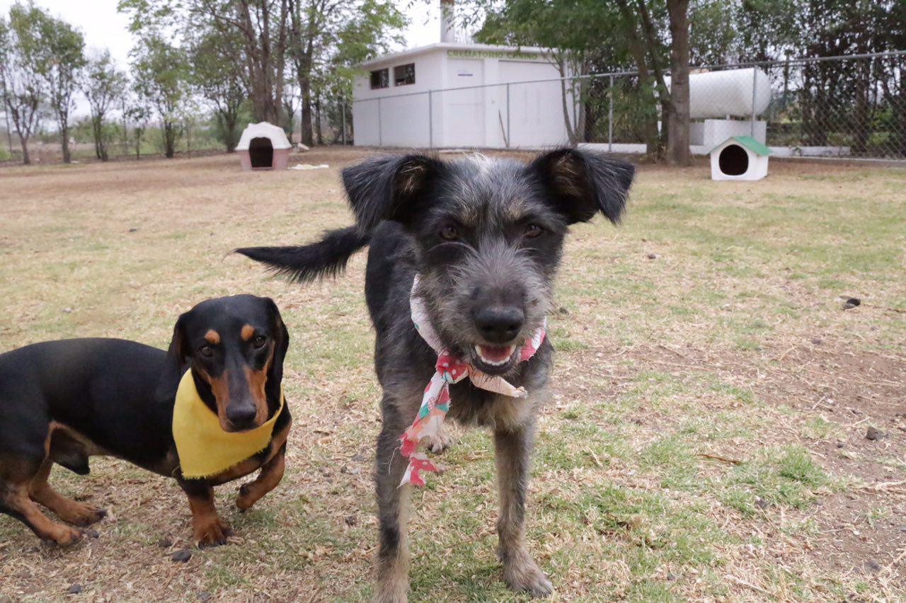 Las adopciones que se han logrado, particularmente en este presente 2016, son de alrededor de 40 caninos y felinos mensualmente
