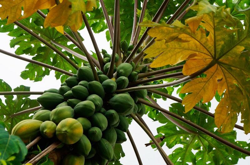 Lo anterior fue dado a conocer por el secretario de Desarrollo Rural y Agroalimentario, Israel Tentory García, quien señaló que de este fruto sólo se exportan cerca de 4 mil toneladas