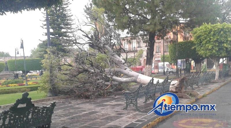 Tanto los vientos, como problemas con la raíz pudieron provocar la caída del árbol (FOTO: SEBASTIÁN ORTEGA)