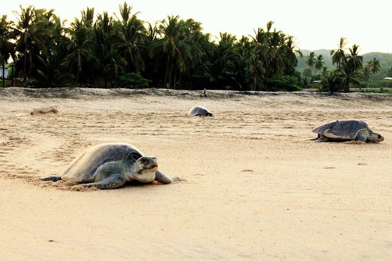 Cada tortuga llega a depositar entre 80 y 100 huevos, son miles los que son depositados en la arena que caracteriza las playas michoacanas como uno de los escenarios predilectos para que ocurra la arribazón de tortugas