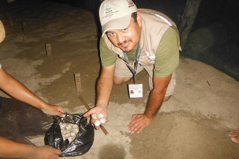 Inspectores ambientales de la ProAm apoyaron a los encargados del campamento en el arribo de ocho tortugas, así como en la recolección, traslado y resguardo de los más de 500 huevos que fueron desovados en la playa