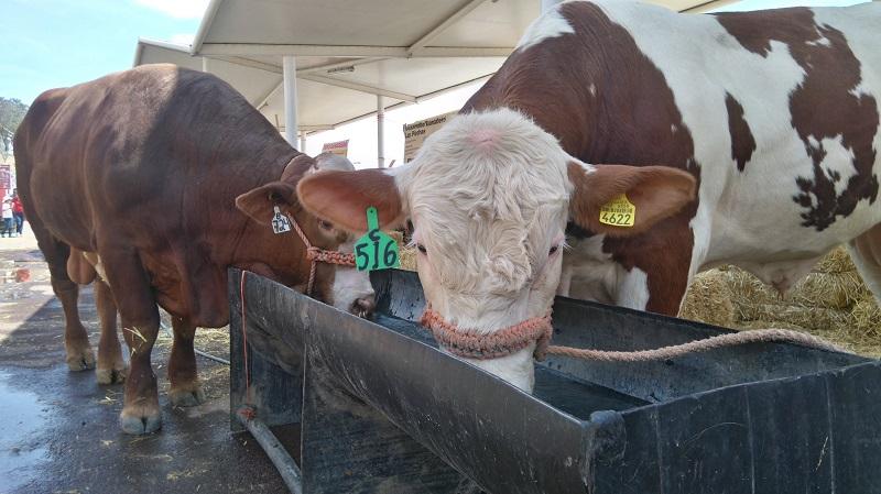 Con una inversión de 47 millones de pesos se realizan campañas de sanidad pecuaria para lograr la inocuidad y exportar ganado y carne