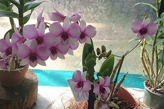 Acciones como las que se hacen en el Orquideario de Morelia, deben llevarnos a sacar a estas plantas de las listas de especies en peligro de extinción