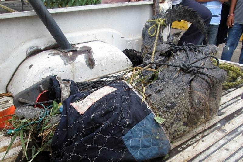 Elementos de Protección Civil se trasladaron al lugar, donde lo capturaron, para posteriormente llevarlo a sus instalaciones, donde fue marcado antes de remitirlo al estero de la Barra de Santa Ana