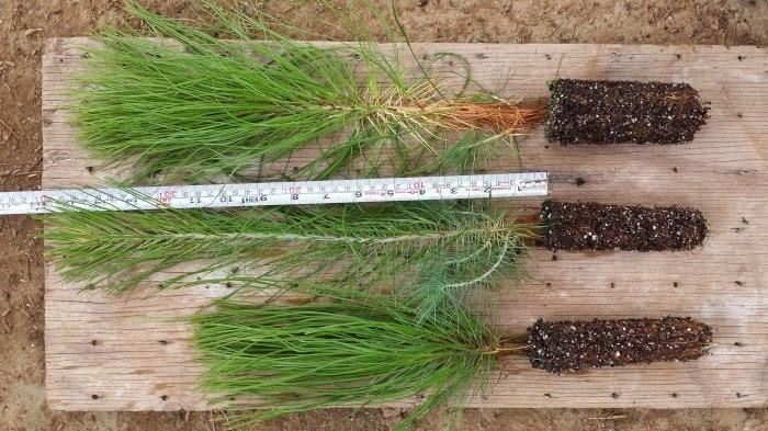 La técnica de germoplasma consiste en obtener semilla o material vegetal de alta calidad para desarrollar nuevos individuos con mejores características, incrementando con ello las probabilidades de sobrevivencia de la planta