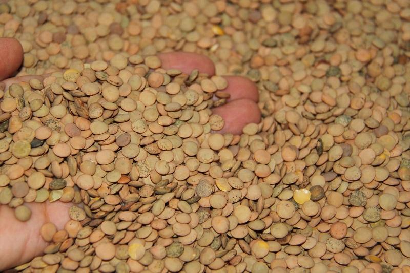 Huergo Maurin informó que el rendimiento por hectárea es de poco más de media tonelada y son los municipios de Coeneo y Huaniqueo en donde mayor superficie del cultivo hay