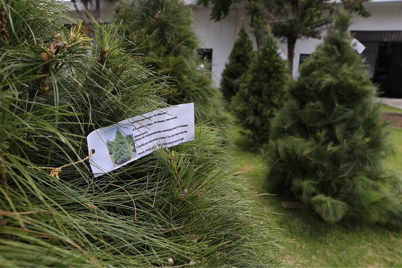 Michoacán es el cuarto estado con mayor producción de este tipo de recurso después del Estado de México, Guanajuato y Puebla, con las especies de Pinus Ayacahuite, Abies Religiosa y Pseudotsuga