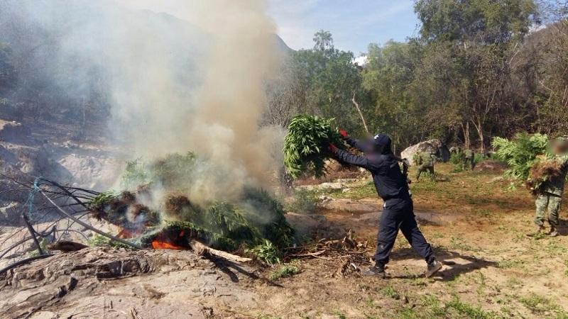 La droga se cortó e incineró en el lugar por las autoridades estatales y federales