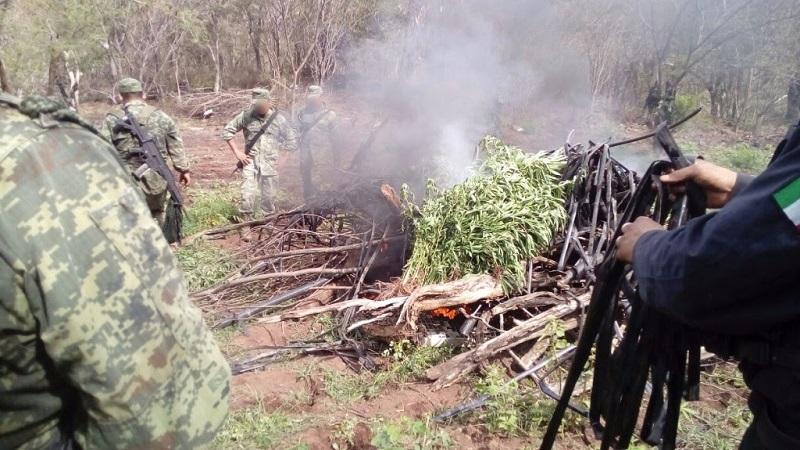 El enervante fue cortado e incinerado en el lugar por las autoridades estatales y federales