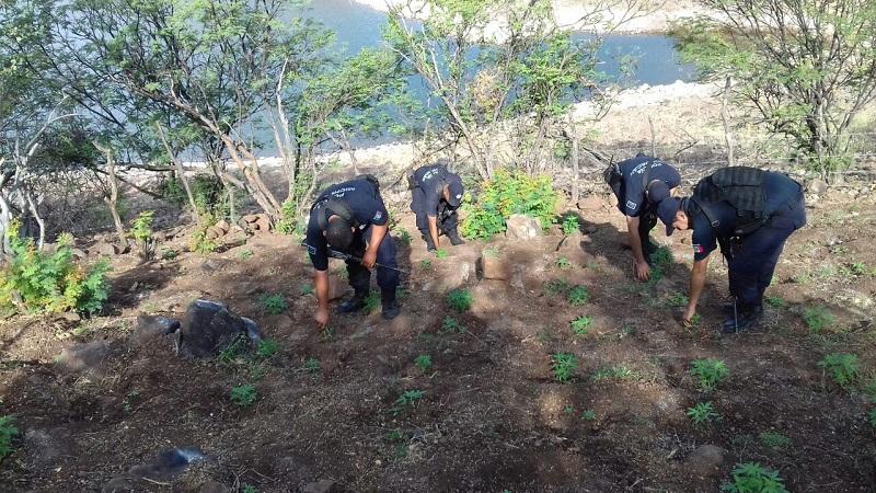 En el lugar que tenía una longitud de 10 metros por 20, los uniformados descubrieron un aproximado de 362 plantas de 10, 15 y 20 centímetros con las características propias a la droga conocida como marihuana, por lo que procedieron a incinerarlo