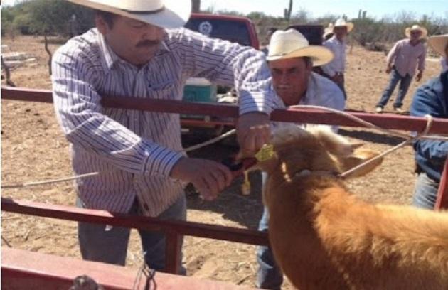 Gracias a estos trabajos, Michoacán ha tenido un avance notable colocándose en el 2° lugar de identificación del ganado bovino con un incremento que lleva a la fecha del 65% de identificación de cabezas de ganado con el arete SINIIGA