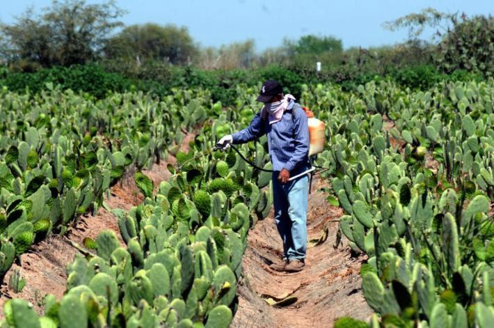 Alcaldes de Pátzcuaro, Arteaga, Tumbiscatío, Coahuayana, Carácuaro, entre otros se han sumado en promover el cultivo del nopal debido a las bondades del mismo