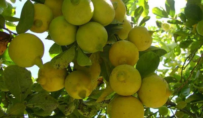 El titular de la Sedrua reiteró que Michoacán es una potencia horto-frutícola, al ubicarse con 20 productos en el primer lugar a nivel nacional; en tanto que doce más se sitúan en segundo y 12 más en tercero